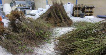 Hasta 35.000 nuevos almendros y nogales en Villacañas