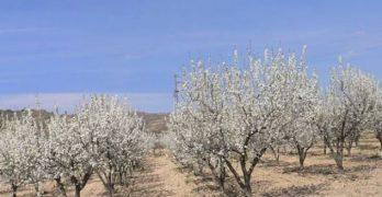 El nuevo paisaje blanco de los almendros desde Albacete hasta Toledo