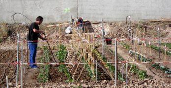 Desempleados y jubilados gestionan 62 huertos urbanos en Villacañas