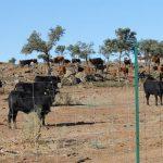 La Diputación de Toledo saca a la venta el ganado de lidia adquirido por Tizón