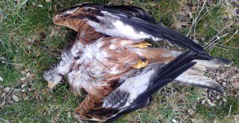 Ecologistas denuncia un nuevo caso de envenenamiento en un coto de Toledo