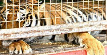 Ganemos volverá a intentar que Toledo sea ciudad libre de circos con animales