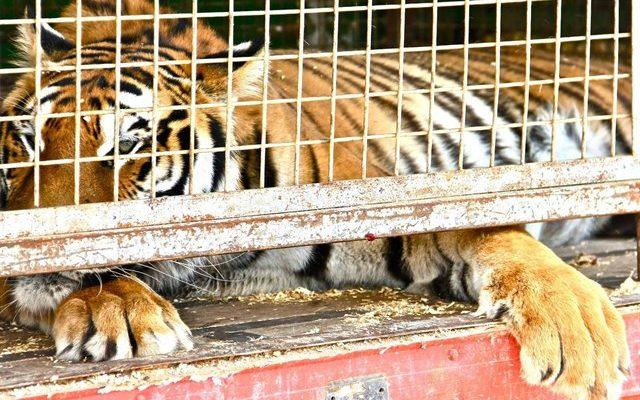 Talavera no recurrirá la sentencia que anula la prohibición de circos con animales
