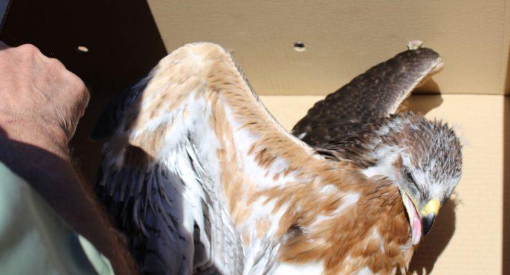 Liberadas las dos primeras águilas perdiceras nacidas en un centro de recuperación