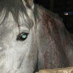 Desmantelada una red que comercializaba con carne de caballo no apta para el consumo