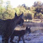 Nacen libres otros tres cachorros de lince ibérico en los Montes de Toledo