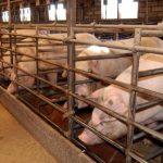 Nuevo paso en Talavera para impedir que las explotaciones porcinas se instalen cerca de los núcleos urbanos
