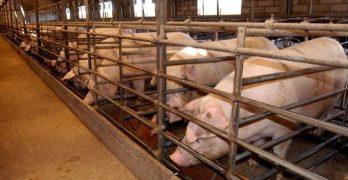 Autorizan ampliar la macrogranja porcina de Santa Olalla para cebar a más de 5.000 cerdos