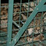 Evitan la muerte de un ejemplar de lince ibérico atrapado en una jaula-trampa