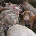 La Junta autoriza ampliar una macrogranja en Gerindote hasta los 4.400 cerdos
