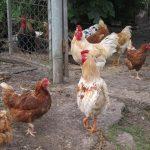 Una empresa avícola incubará 75.000 pollos semanales en Las Ventas de San Julián