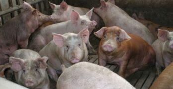 Autorizada la ampliación de una macrogranja porcina en Villafranca de los Caballeros