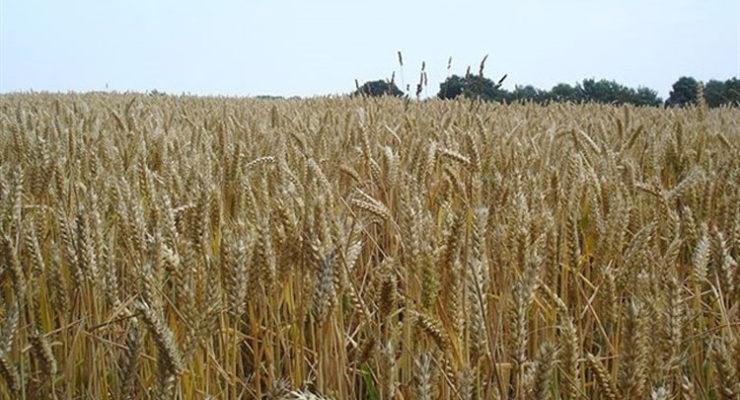 """ASAJA denuncia """"daños en los cultivos"""" provocados por cazadores furtivos en Novés y Villamiel"""
