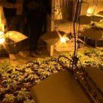 Incautan más de 3.500 plantas de marihuana en Ugena y Olías del Rey