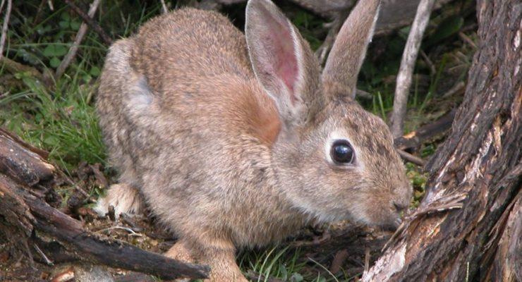Autorizada la caza de conejos en vías pecuarias de la provincia con hurón, capillo o redes sin perro