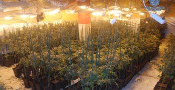 Desmantelan un laboratorio con más de 2.600 plantas de marihuana en Olías del Rey