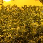 Detienen a un grupo criminal de chinos que encerraban a compatriotas suyos para cuidar plantaciones de marihuana