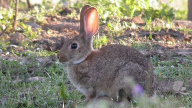 """Reclaman soluciones a la invasión de conejos en los cultivos: """"Ya no nos vale que se pasen la pelota unos a otros"""""""