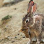 La Junta cambia métodos y periodos para capturar conejos y frenar así la sobrepoblación