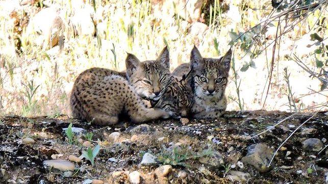 Nacen tres cachorros silvestres de lince ibérico en los Montes de Toledo
