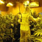 Tres detenidos en Seseña tras desmantelar un cultivo de más de 1.200 plantas de marihuana