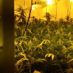 Incautan más de 120 kilos de marihuana en La Torre de Esteban Hambrán