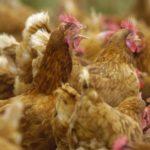 Autorizada la macrogranja avícola de las Ventas de San Julián, que no requiere evaluación ambiental