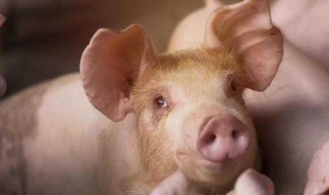 Nuevo paso para que la futura norma sobre las explotaciones porcinas intensivas sea una realidad
