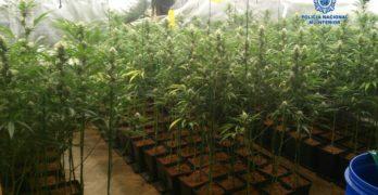 Detenidas cuatro personas en Bargas con 783 plantas y 14 kilogramos de cogollos de marihuana