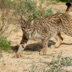 Desde muerte de linces hasta cierre de caminos: así es el efecto de la caza en el entorno natural