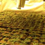 Desmantelado un cultivo de 700 plantas de marihuana