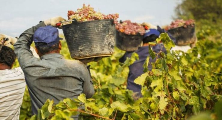 La vendimia en Castilla-La Mancha, tardía pero con buenas perspectivas en cantidad y calidad