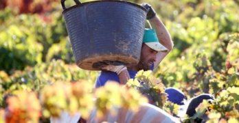 La vendimia inicia el tramo final optimista y con un tiempo que está mejorando la maduración de la uva