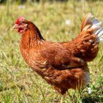 Un joven de Gálvez pone en marcha una explotación de producción de huevos camperos con 5.000 gallinas