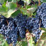 Diez cooperativas de Toledo se unen para comercializar juntas 64 millones de litros de vino