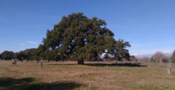 El alcornoque centenario del Dehesón del Encinar, nuevo árbol singular en la región