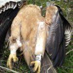 Mueren tres águilas imperiales en Toledo por electrocución