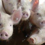 Formulan la declaración de impacto ambiental para una macrogranja con 14.200 cerdos en Otero