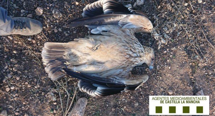 Siete águilas muertas por electrocución en la provincia de Toledo en un mes