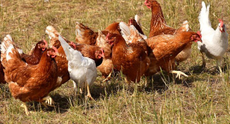 Formulan la declaración de impacto ambiental para una granja de 108.000 gallinas ecológicas en Arcicóllar