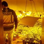 Desmantelan un laboratorio con 300 plantas de marihuana próximo a un colegio en Talavera
