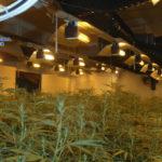 Cae en Toledo un laboratorio clandestino de marihuana desde el que se exportaba a Europa