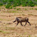 La Consejería de Medio Ambiente aumenta el periodo de caza de jabalíes