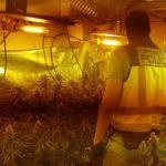 Detienen a un padre junto a su hijo y su yerno en Talavera por el cultivo de 1.300 plantas de marihuana