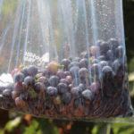 Los viñedos DO La Mancha se preparan para una vendimia más corta y de excelente calidad