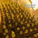 Desmantelado en Nambroca un cultivo interior de 331 plantas de marihuana