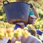 """ASAJA asegura que la cosecha de uva será de calidad """"excepcional"""" y pide no cobrar menos de 30 céntimos el kilo"""