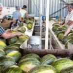 El melón y la sandía se citan en un seminario que pretende unificar a los productores en la comercialización
