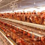Una macrogranja de Lominchar pretende ampliar su capacidad a 292.000 gallinas ponedoras