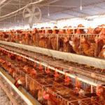 Autorizan ampliar una macrogranja en Novés que superará las 660.000 aves de puesta